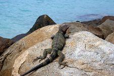 Free Iguana On The Rocks Royalty Free Stock Image - 13776046