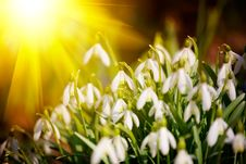 Free Snowdrops - Galanthus Nivalis Royalty Free Stock Photo - 13776235