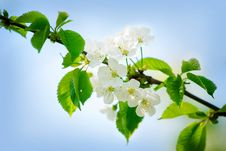 Free Spring Cherry Blossoms Royalty Free Stock Image - 13776386