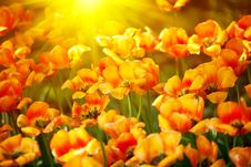 Free Lots Of Multicolor Tulips Stock Photography - 13776402