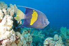 Free Yellowbar Angelfish Royalty Free Stock Image - 13778866