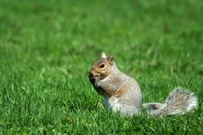 Free A Grey Squirrel Eating Royalty Free Stock Photography - 13779097