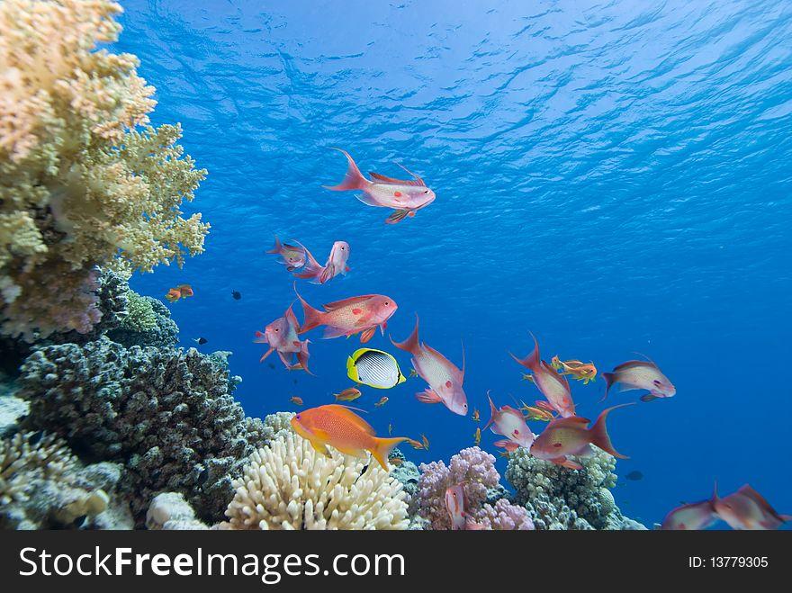 Lyretail anthias and coral reef