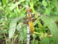 Free Dragonfly. Royalty Free Stock Photo - 13783765