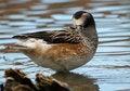 Free Duck Stock Photos - 13784133