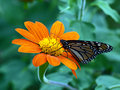 Free Monarch Butterfly Royalty Free Stock Photos - 13786938