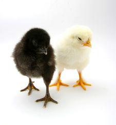 Free Chicks Stock Photos - 13780203