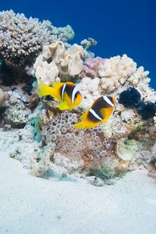 Free Anemone Fish Royalty Free Stock Images - 13780289