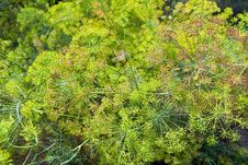 Free Blooming Fennel In A Garden Stock Photography - 13780312