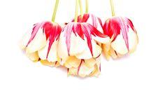 Free Tulips Stock Photo - 13780580