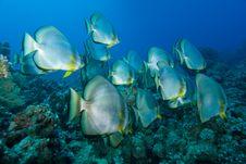 Free Shoal Of Circular Batfish Royalty Free Stock Photos - 13780618