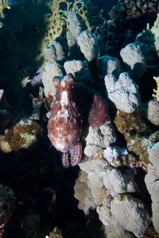 Free Octopus And Coral Reef Stock Photo - 13780760