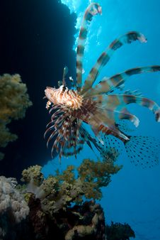 Free Lionfish Over Coral Reef Royalty Free Stock Photos - 13780868