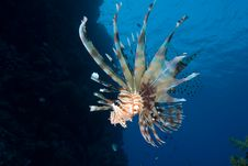 Free Lionfish Over Coral Reef Royalty Free Stock Image - 13780896