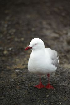 Free Seagull Standing In The Dirt Stock Image - 13781431