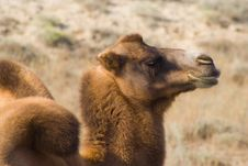 Free Camel Stock Photo - 13782400