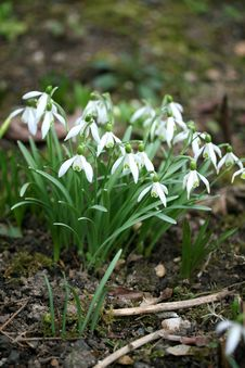 The Snowdrops Stock Photo