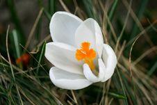 Free A White Crocus Royalty Free Stock Photo - 13782565