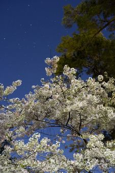 Free Cherry Blossoms Lit By Moon Light With Star Trails Royalty Free Stock Images - 13783109