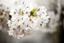 Oriental Cherry Blooming Stock Photography