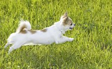 Free White Chihuahua Jumping On Green Grass Royalty Free Stock Photos - 13783768