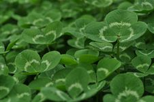 Free Clovers Royalty Free Stock Photography - 13784227