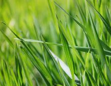 Free Spring Grass Royalty Free Stock Image - 13784936