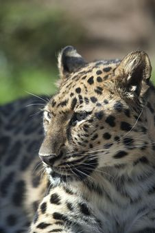 Amur Leopard 0652 Royalty Free Stock Photography