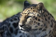 Free Amur Leopard 0707 Royalty Free Stock Photography - 13785197