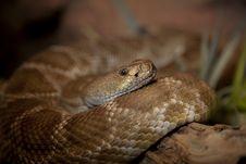 Red Diamond Rattlesnake 0571 Royalty Free Stock Images