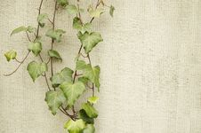 Free Ivy On A Wall Stock Images - 13785344