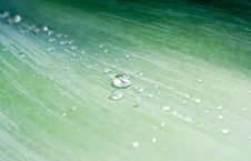 Free Water Droplets On Green Agave Leaf Royalty Free Stock Images - 13785439