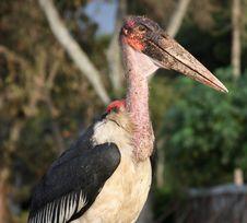 Free Pelican Bird Royalty Free Stock Photo - 13785525