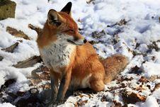 Fox Royalty Free Stock Photography