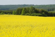 Free Oilseed Rape Field Royalty Free Stock Photo - 13786815
