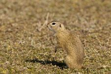 Free Souslik Or European Ground Squirrel Stock Photo - 13786970