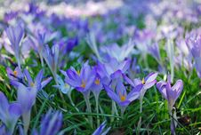 Free Crocus Royalty Free Stock Photography - 13787637