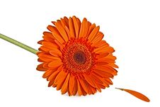 Free Orange Gerbera Flower Royalty Free Stock Photo - 13787645