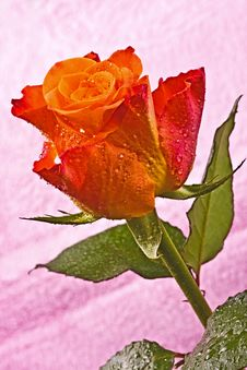 Free Orange Flower, Bright Rose Stock Photos - 13787713