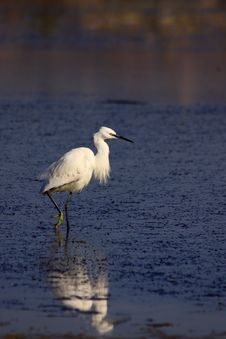 Free Little Egret Royalty Free Stock Images - 13788809