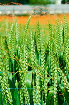 Free Wheat Royalty Free Stock Photography - 13789157