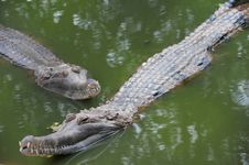 Free Crocodiles Stock Photography - 13789812