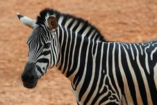Free Zebra Stock Photo - 13789900