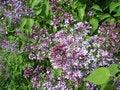 Free Lilac Stock Photos - 13794603