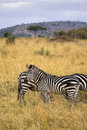 Free Zebra Standing In Field Stock Image - 13797341