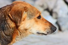 Free Close Up Of An Beautiful Yellow Dog Royalty Free Stock Images - 13791029
