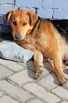Free Close Up Of An Beautiful Yellow Dog Stock Image - 13791071