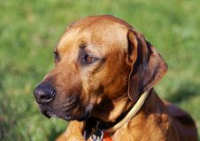 Free Head Of The Rhodesian Ridgeback -dog Breed Royalty Free Stock Photos - 13793248
