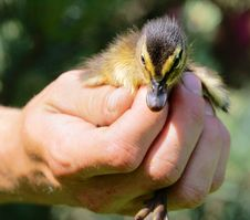 Free Chicken Of Hottentot Teal In Hands Stock Photography - 13793642