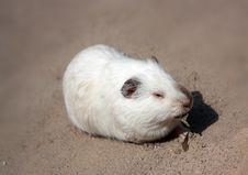 Free Guinea Pig Stock Image - 13793661